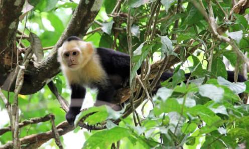 white-faced-capuchin-monkey
